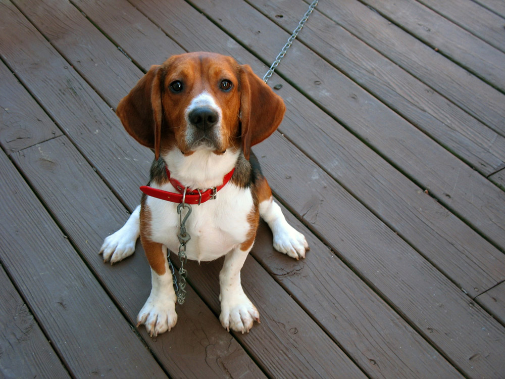 beagle sitting on deck